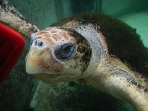 Allie the female loggerhead sea turtle at Gulf Specimen Marine Aquarium